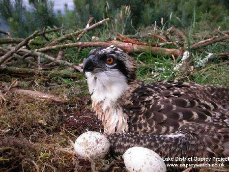 Lake District Osprey Project