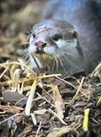 Otter, Aquarium of the Lakes